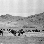 Скоту в Монголии - полная воля...