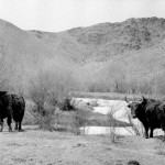 Множество яков пасутся в долине Толы. Сонгино.